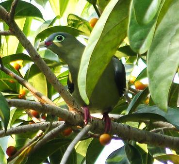 Толстоклювый зеленый голубь. Treron curvirostra  Thick-billed Green-Pigeon  самка