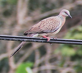 Пятнистая горлица. Streptopelia chinensis. Spotted Dove
