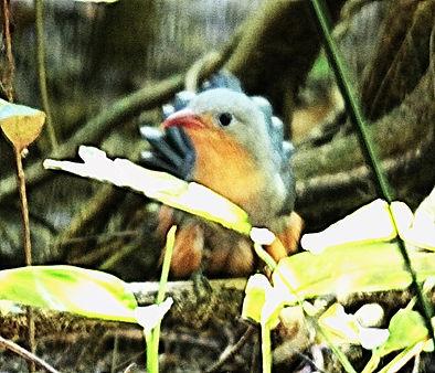 Красноклювая кустарниковая кукушка (Phaenicophaeus javanicus) Red-billed Malkoha