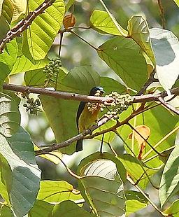 Chalcoparia singalensis