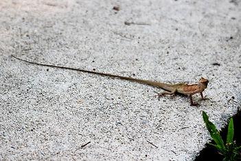 Калот-кровосос ( Calotes versicolor) Oriental garden lizard Самец