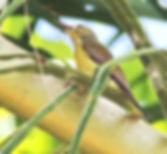 Серогорлая нектарница (Anthreptes malacensis) Plain-throated Sunbird