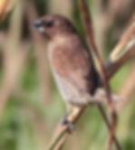 Чешуйчатогрудая амадина(Lonchura punctulata) Scaly-breasted Munia. Adult