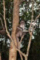 Макака-крабоед (Macaca fascicularis)