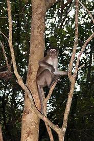 Макак-крабоед. (Macaca fascicularis) Crab-eating macaque