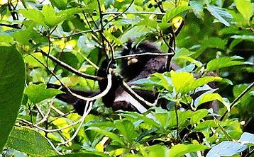 Очковый тонкотел (Trachypithecus obscurus) Dusky leaf monkey