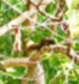 Краснобрюхая белка, или Белка Палласа   (Callosciurus erythraeus pranis) Red-bellied tree squirrel, Pallas's squirrel