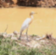 Египетская цапля (Bubulcus ibis)  Cattle Egret