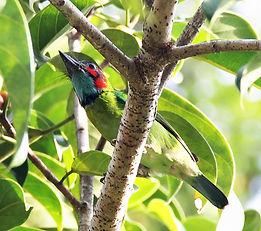 Синеухий бородастик (Psilopogon duvaucelii)  Blue-eared barbet