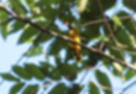 Чернохохлый бюльбюль (Pycnonotus flaviventris)  Black-crested Bulbul