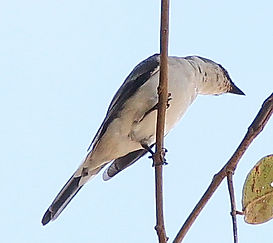 Серый личинкоед (Pericrocotus divaricatus) Ashy Minivet
