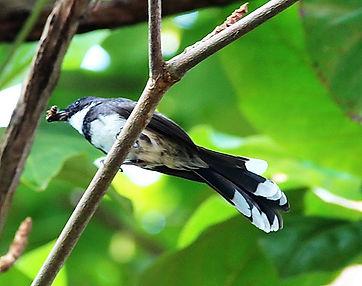 Ошейниковая веерохвостка (Rhipidura java