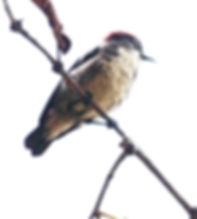 Алый цветосос.  (Dicaeum cruentatum) Scarlet-backed Flowerpecker