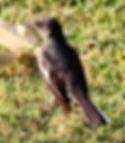 Сорочий шама-дрозд, самка.Copsychus saularis.Oriental Magpie-Robin, female