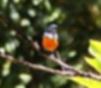 Рубиновогорлый цветосос (Dicaeum trigonostigma) Orange-bellied Flowerpecker