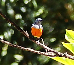 Рубиновогорлый цветосос (Dicaeum trigonostigma) Orange-bellied Flowerpecker
