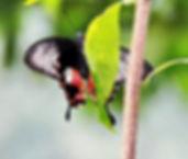 Common Clubtail. (Losaria coon) Бабочка Парусник Таиланд