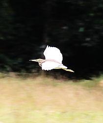 Белокрылая цапля_Ardeola bacchus  Chinese Pond-Heron
