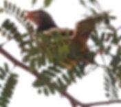 Бюльбюль Бленфорда  (Pycnonotus blanfordi) Streak-eared Bulbul.