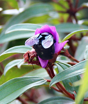 Пчела-плотник (Xylocopa sp.) Carpenter b