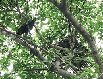 Большеклювая ворона (Corvus macrorhyncho