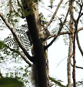 Белка Финлайсона (Callosciurus finlayson