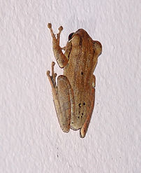 Домовый веслоног (Polypedates leucomystax) Common tree frog