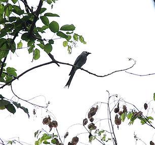 Серый дронго (Dicrurus leucophaeus leuco