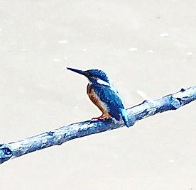 Обыкновенный зимородок (Alcedo atthis) Common Kingfisher