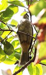 Бюльбюль Бленфорда. Pycnonotus blanfordi. Streak-eared Bulbul