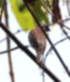 Чешуйчатогрудая амадина (Lonchura punctulata) Scaly-breasted Munia