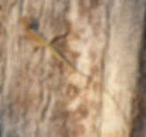 Лесной калот (Calotes emma) Самка