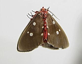 Бабочка Медведица Тинолиус Эбернейгутта
