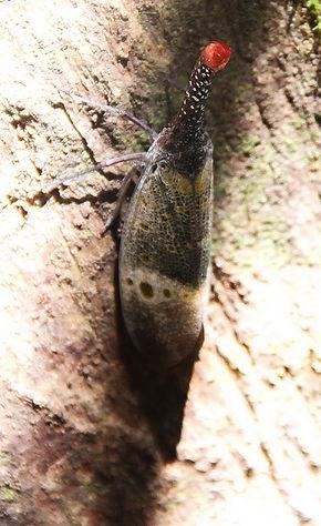 Фонарница Pyrops pyrorhynchus