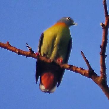 Малый зелёный голубь  (Treron olax)  Little Green-Pigeon