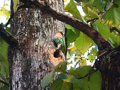 Розовогрудый ожереловый попугай (Psittacula alexandri) huatiaiasia