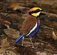Суматранская синехвостая питта (Hydrornis irena) Banded Pitta, Sri Phang-nga