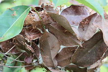 зиатский муравей-портной ( Oecophylla smaragdina) weaver ant