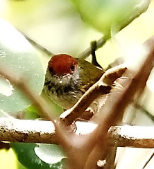 Черногорлая портниха (Orthotomus atrogularis) Dark-necked Tailorbird