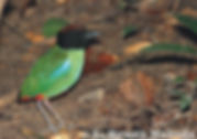 Черноголовая (капюшенная)  питта ( Pitta sordida).