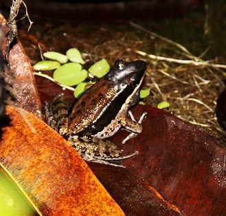Black-striped frog (Sylvirana malayana)