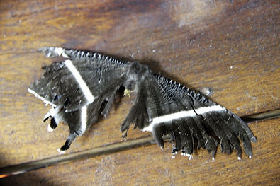Тropical swallowtail moth (Lyssa zampa)