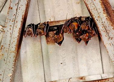 Коротконосый крылан Хорсфилда (Cynopteru