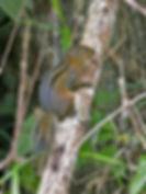 Трёхполосая белка (Lariscus insignis)