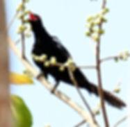 Коэль. Eudynamys scolopaceus.  Asian Koel