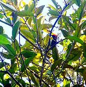 Кхао Но Чу Чи. Алый цветосос ( Dicaeum cruentatum)