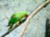 Александров кольчатый попугай  (Psittacula eupatria) Alexandrine Parakeet. самка.