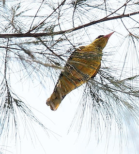 Китайская иволга. Oriolus chinensis. Black-naped Oriole