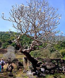 плюмерия чампа Лаос
