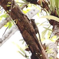 бирманская полосатая белка Tamiops mccle
